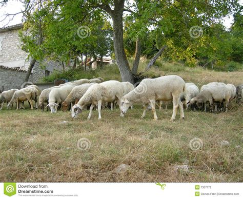 how to a to herd sheep herd of sheep stock photos image 7307773
