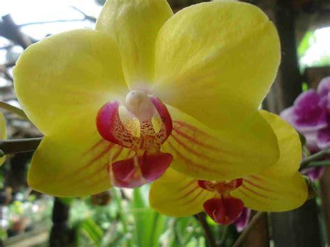 Bunga Anggrek Bulan Kuning kata romantis bunga anggrek bulan kuning rumah daun muda