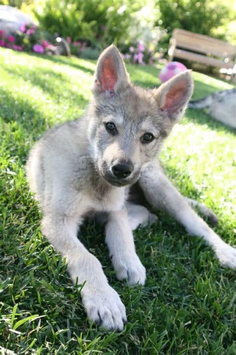 czechoslovakian wolfdog puppies 1000 ideas about czechoslovakian wolfdog on siberian huskies alaskan