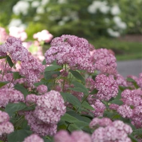 flowering shrubs for afternoon sun 242 best shrubs images on beautiful flowers