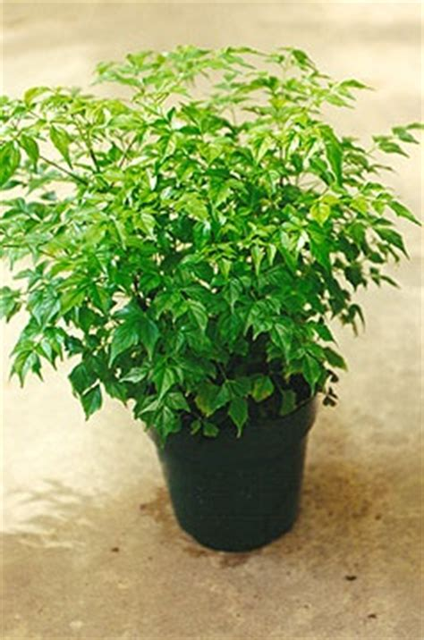china doll house plant china doll plant for my house for the home pinterest
