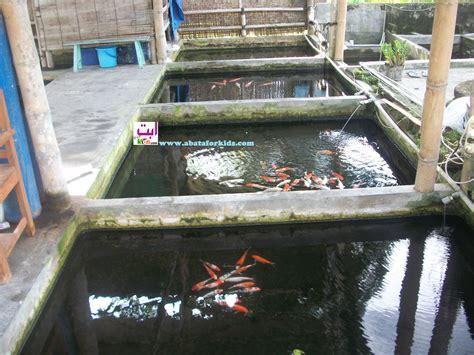 Bibit Ikan Koi Jogja bibit ikan koi hias dan ikan cupang betta fish benih
