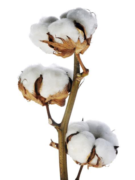 Low Light Plants by Cotton Stems Wholesale Metropolitan Wholesale Bulk