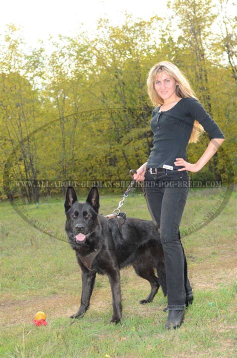 how to a guard german shepherd german shepherd protection attack leather harness h1 1070