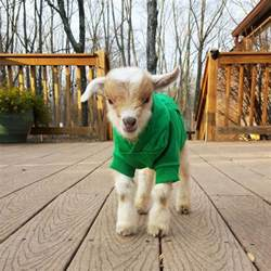 goat rescue story diy network made remade diy