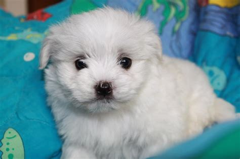 Cheap Dogs That Don T Shed by Maltese Dogs For Sale In California