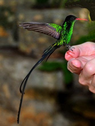 jamaican hummingbird tattoo expression pinterest 15 best birds images on pinterest birds humming birds