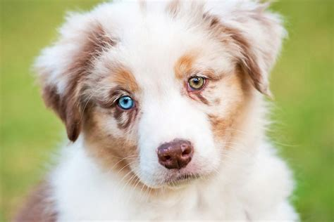 heterochromia in dogs heterochromia two different colored allaboutvision