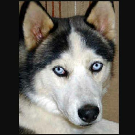 russel in appartamento cani piccolissimi da appartamento cani piccolissimi da