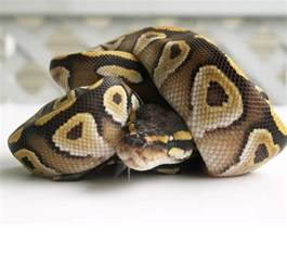 photo quot mojave python quot in the album quot animal wallpapers