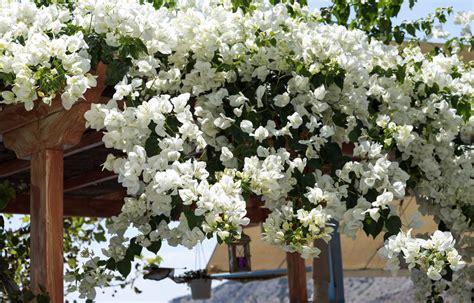 Fleurs Odorantes Pour Balcon by Des Arbustes Fleuris Au Balcon