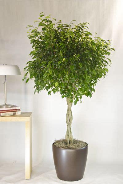 ficus interior ficus benjamina from houston interior plants i trust