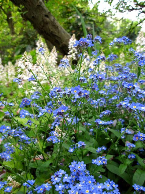 non ti scordar di me fiori non ti scordar di me linguaggio dei fiori il giardino