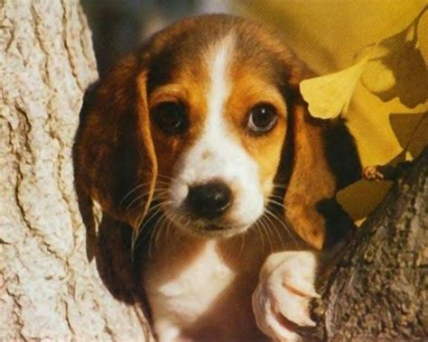 free beagle puppies free beagle puppies wallpaper the quotes land