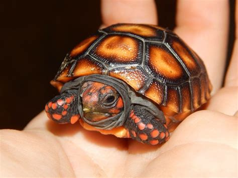 6 Reasons To Get A Tortoise by Best 25 Tortoise Vivarium Ideas On Tortoise