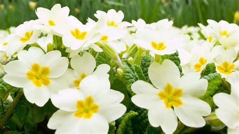 White Flowers Garden Beautiful White Flower At Garden Flowers Wallpaper Hd