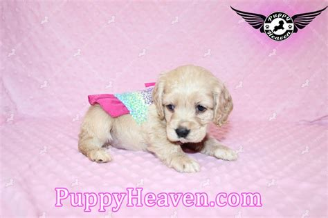 teacup cocker spaniel puppies for sale teacup puppies for sale in las vegas