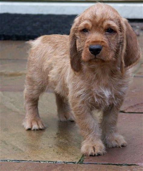 basset fauve de bretagne puppies 17 best images about basset fauve de bretagne dogs on trainers mothers