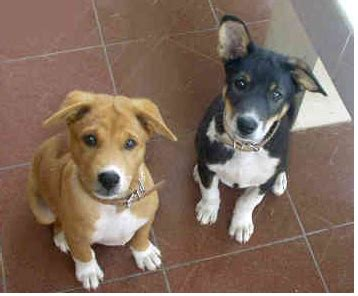 basenji puppy cost two basenji puppies looking up to the png