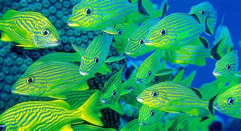 brightly colored fish wt discovering the new world the caribbean sea