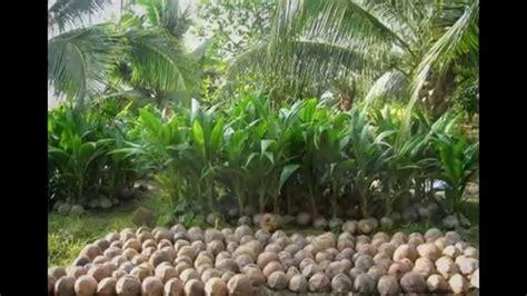 Bibit Kelapa Pandan Wangi hp 085361358695 bibit kelapa pandan wangi original f1