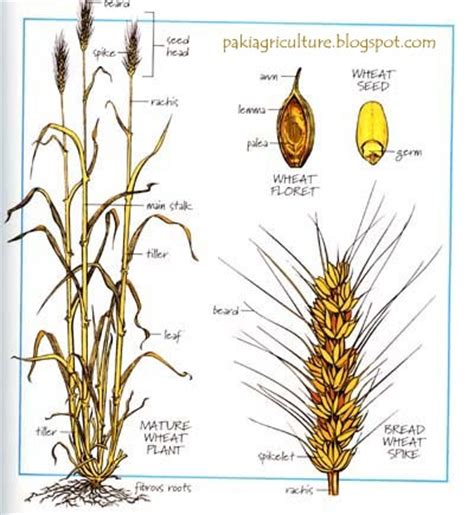 wheat seed diagram intro to wheat triticum aestivum l genetics and