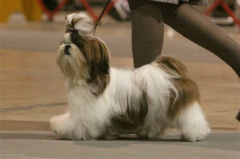 how many times does a shih tzu puppy eat the show shih tzu shih tzu city
