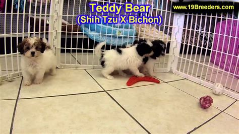 dogs for sale in missouri teddy puppies in missouri breeds picture