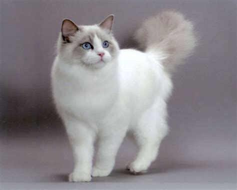 rag doll exercise ragdoll cat information pictures
