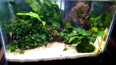 aquascape anubias aquascape bucephalandra dan anubias youtube
