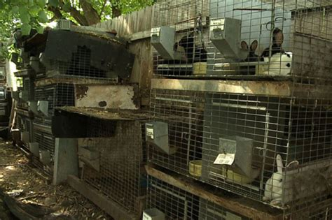 backyard bunnies rabbitry hundreds of bunnies confiscated after two breeders are busted animal legal defense fund
