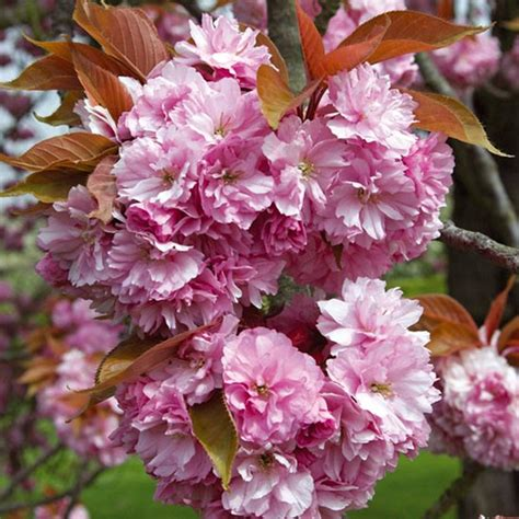 prunus kanzan japanese flowering cherry pomona