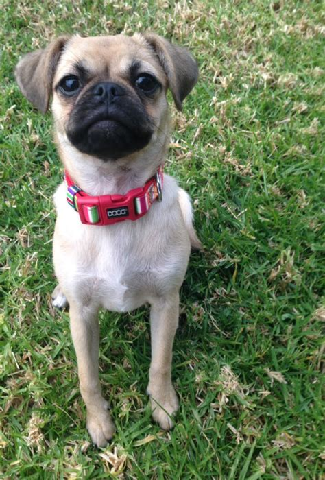 how much are pug puppies in australia pug x maltese cottage canines australia