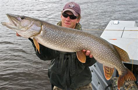 Pictures Of Pike Fish pike fish pictures