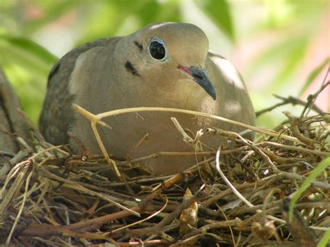 creating myself mourning doves