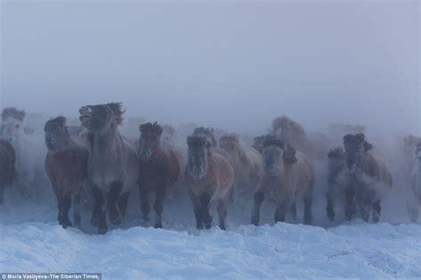 yakut horses running  siberia  temperatures