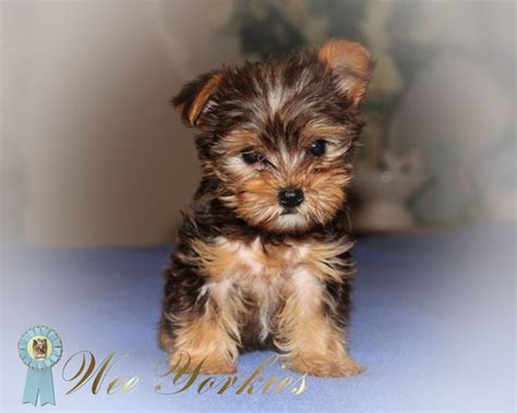 yorkie pups for free teacup yorkie puppies for sale 2 free wallpaper dogbreedswallpapers