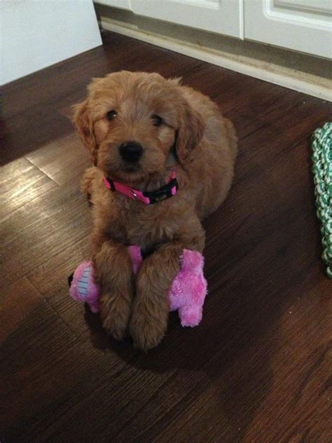1000 Images About Puppies On F1b Goldendoodle