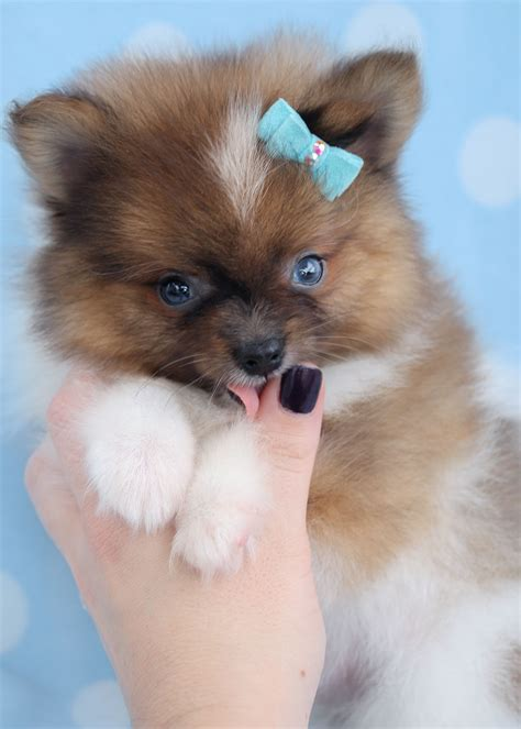 pomeranian puppies in florida pomeranian puppies and pomeranians for sale in south florida teacups puppies boutique
