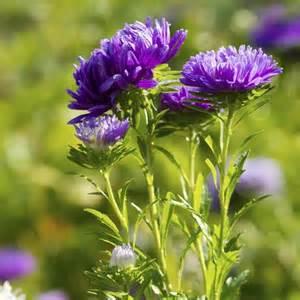 Formidable Aster D Automne Entretien #1: aster-violet
