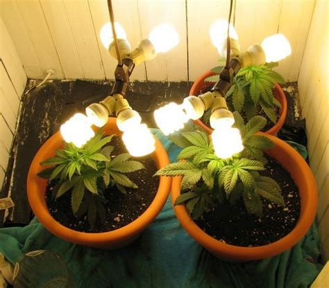 cfl lights  weed growing indoors green cultured