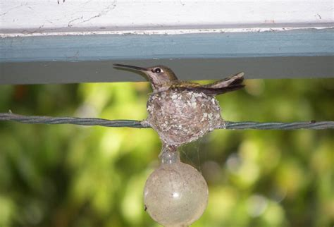 hummingbird appears to have abandoned her nest and two eggs