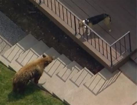 l orso della casa orso bruno entra nel giardino di una casa il lo fa