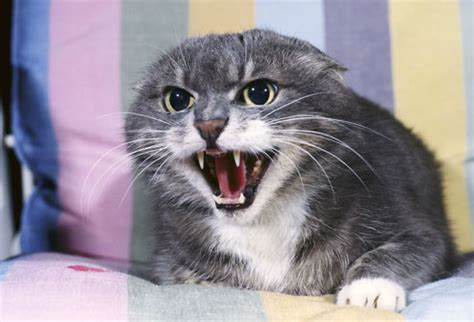 suddenly aggressive why is my deaf cat suddenly so aggressive cat advice paws and effect