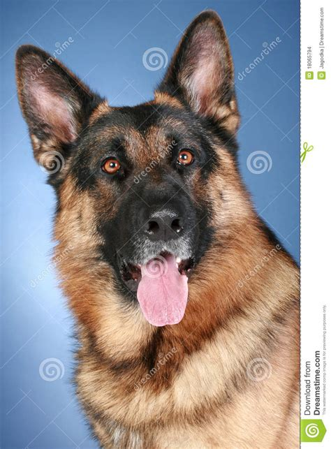dogs similar to german shepherd blue alsatian images frompo 1