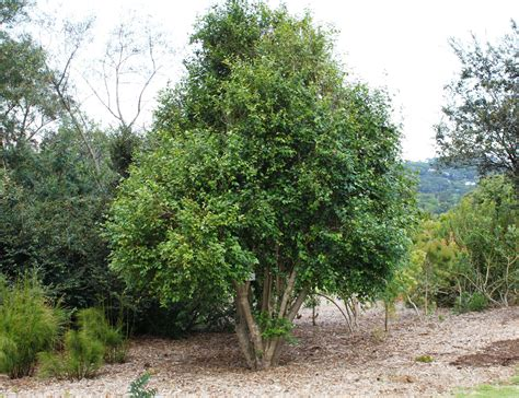 where to put a tree in a small room file halleria lucida tree small specimen cape town 3
