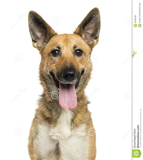 up of a belgian shepherd panting looking at the