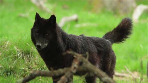 Lop Noir inauguration de la nouvelle zone sur les loups noirs timberwolf du parc de sainte croix