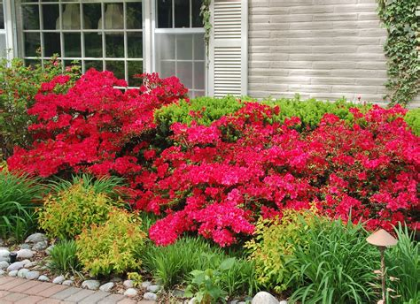 Landscaping Shrubs Ideas Using Azalea In The Front Yard Garden Shrubs Ideas