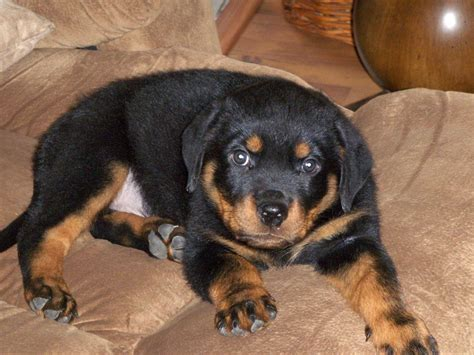 rottweiler puppies for sale in tn rottweiler puppies for sale page 2 akc marketplace
